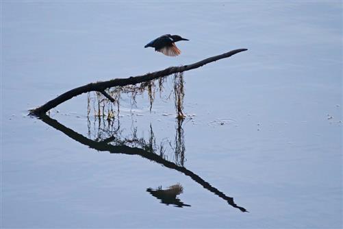 eisvogel spiegelung