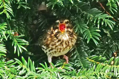 rotdrossel verschluckt eibenfrucht