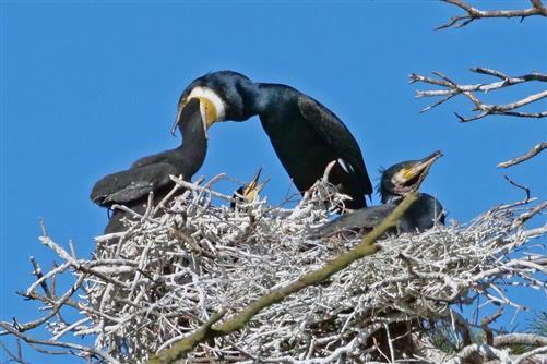 kormorane fütter, rechtem vogel wurde kehlsack aufgerissen