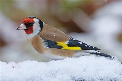 distelfink im schnee