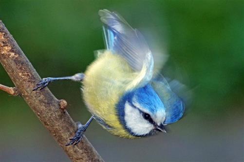 blaumeise abflug