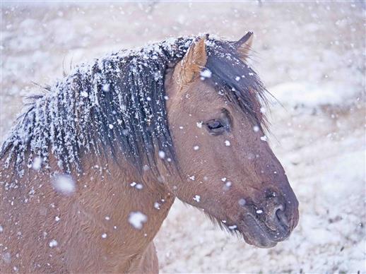 konikhengst im schnee