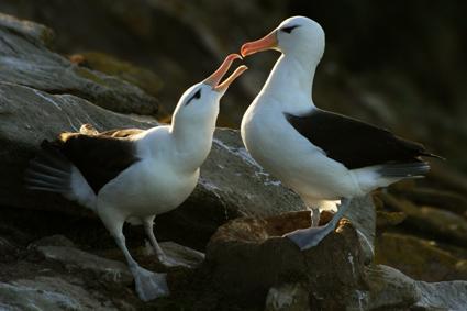 schwarzbrauen albatrosse balzen