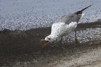 kalifornienmöwe fängt salzfliegen
