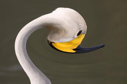 kreuzung singschwan flamingo