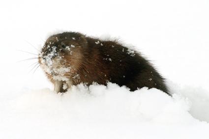 bisam sucht im schnee nach zuckerrüben