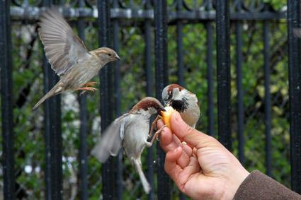 sperlinge fressen von Hand