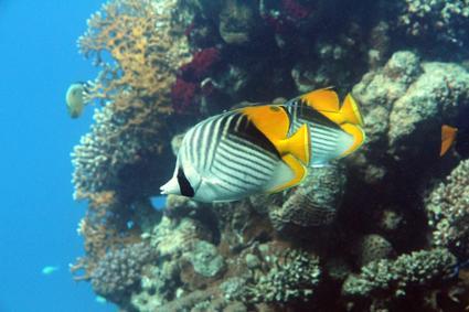 fähnchen falterfische