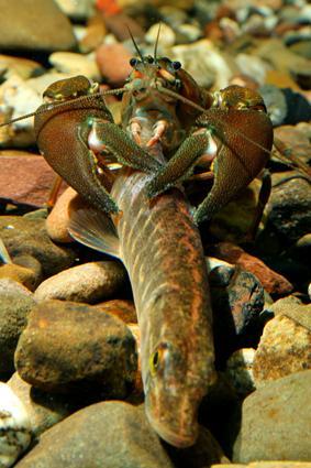 signalkrebs erbeutet fisch