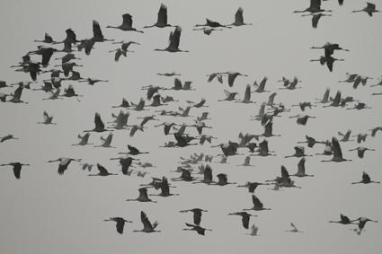 kraniche fliegen im nebel