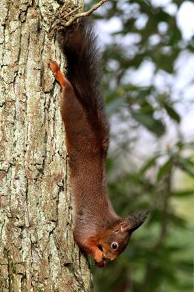 Eichhörnchen lässt sich hängen