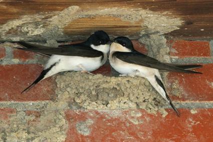 mehlschwalben paar