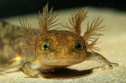 feuersalamander larve