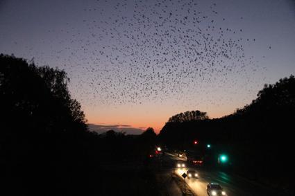 dohlen und saatkrähen fliegen am schlafplatz ein