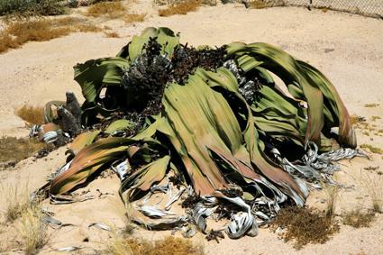 welwitschia 1500 jahre alt