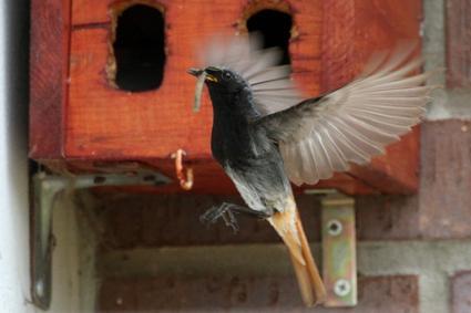 hausrotschwanz fliegt vorm nistkasten