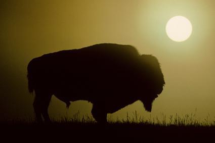 Bison mit vernebelter Sonne