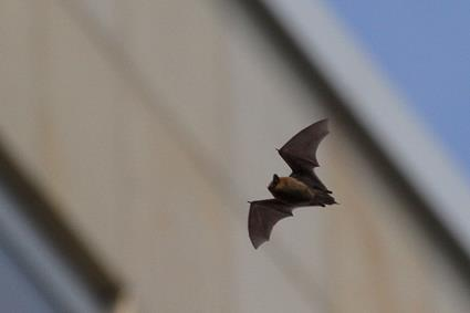 zwergfledermaus fliegt am tag