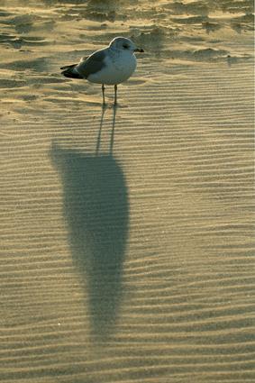 sturmmöwe im sand