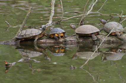 gelbbauch schmuckschildkröten
