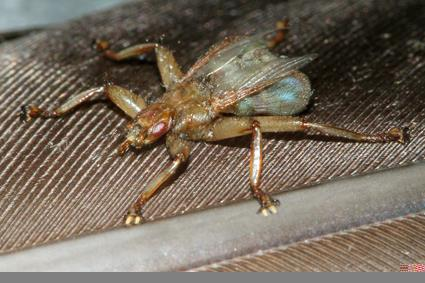 mauersegler lausfliege