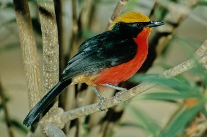 Goldscheitelwürger könnte deutscher Nationalvogel sein