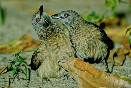 Sudandrosslinge kraulen sich