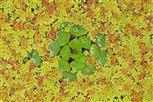 wassernuss in schwimmfarn