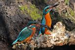 eisvogel paar nach beuteübergabe