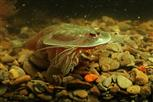 triops cancriformes