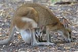 flinkwallaby