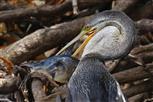 schlangenhalsvogel frisst wels
