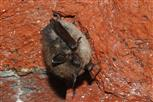 bartfledermaus