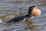 kormoran mit plattfisch