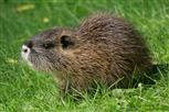 junges nutria