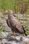 seeadler