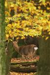sikas im herbstlaub