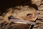 rauhautfledermaus