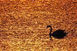 schwan auf goldmeer