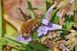 großer wollschweber saugt nektar