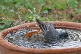 hausrotschwanz badet