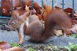 eichhörnchen juckt es
