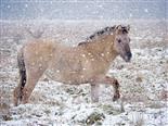 koniks im schnee
