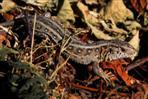 zauneidechse weib