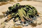 welwitschia 1500 jahre alt
