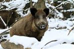 wildschwein im winter