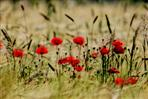 mohn im feld
