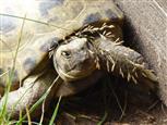 Schildkröte Gretl - Ach ist das Leben schön - Einfach nur in der Sonne liegen