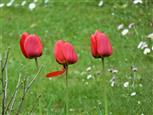 Gleich fällt es ab ... Tulpen
