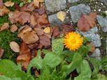 Ringelblume - wie gemalt ... So schön kann der Herbst noch sein
